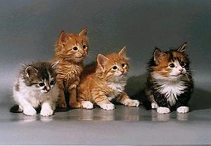 В Челнах состоится выставка кошек