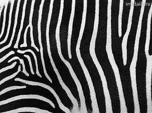 Ученые наконец-то поняли, зачем зебрам полоски