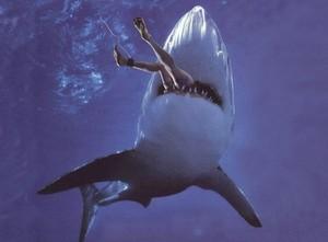 Гигантский морской окунь проглотил акулу целиком