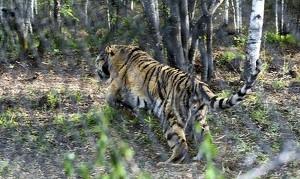 В Китае пообещали присмотреть за путинским тигром Кузей